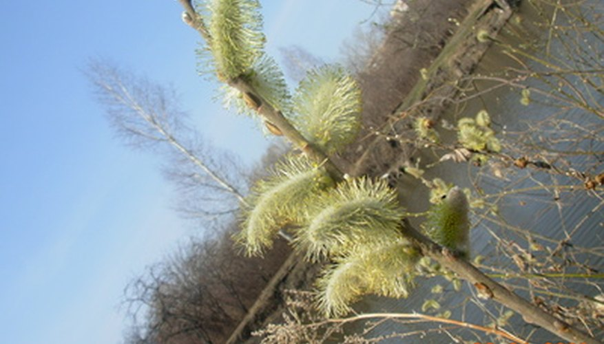 pussy willow shrubs - Pussy Willow Tree