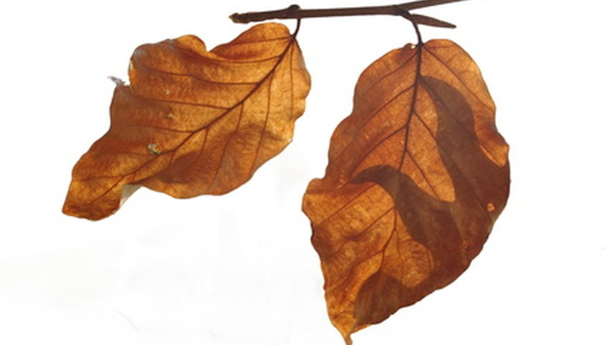 Powder mildew affects the leaves of the beech tree.