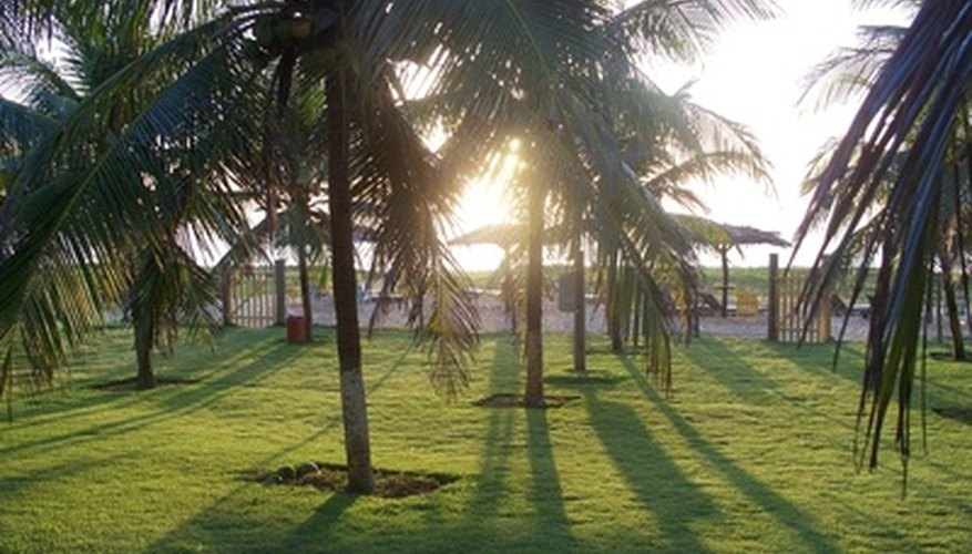 Bahia grass is used as turf grass.