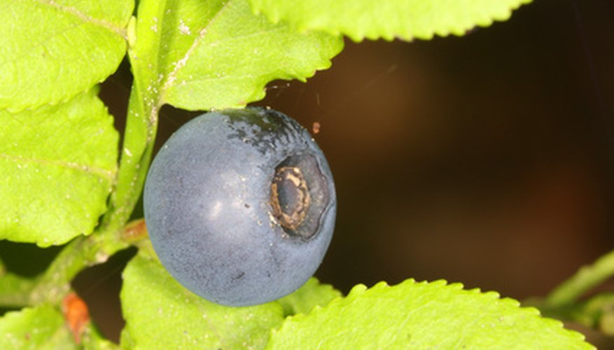 A garden blueberry is ready to pick.