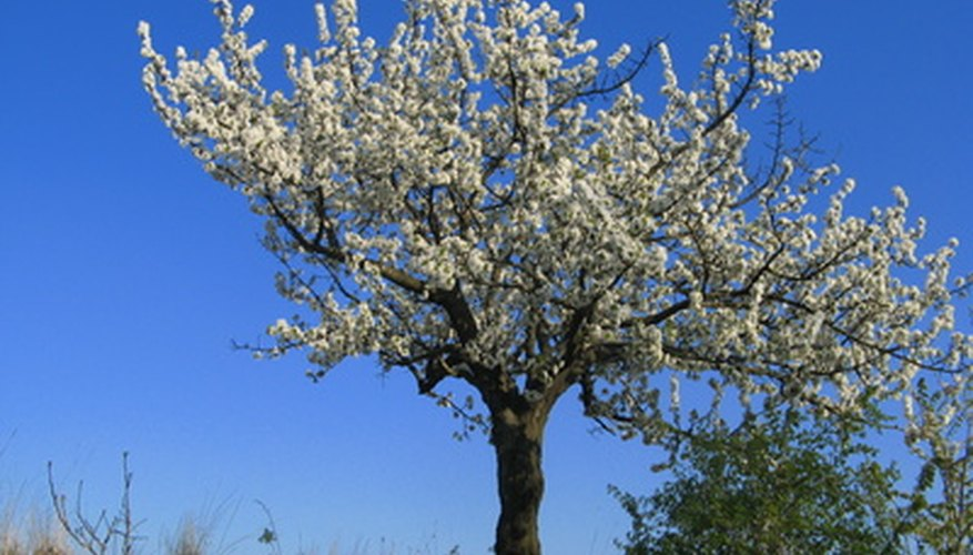 Granular fertilizers are often used for established plants, like apple trees.