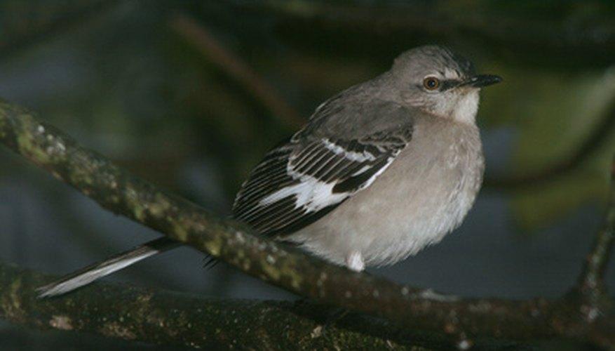 Mockingbirds Sometimes Sing All Night Long.