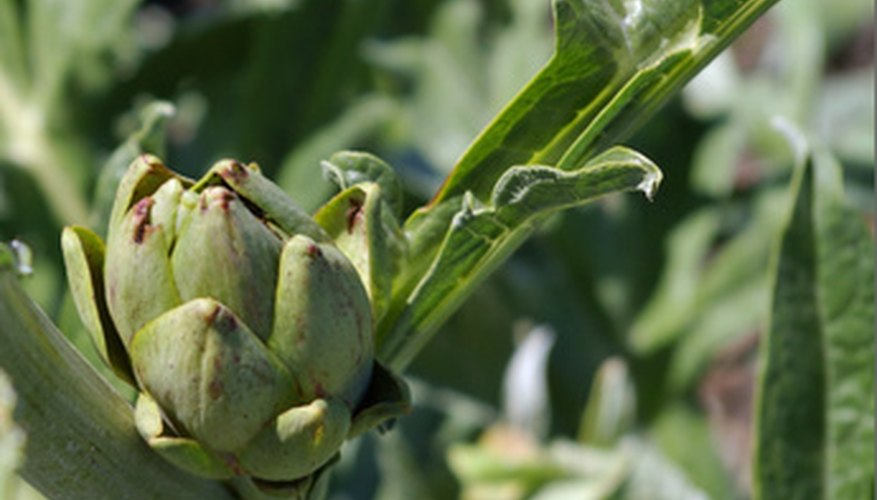 Artichoke companion planting can increase yields.