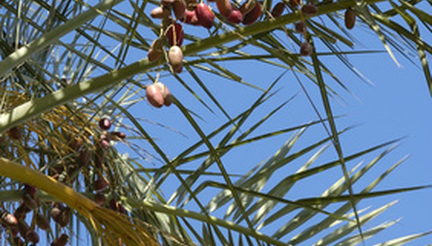 Date fruit on a date palm