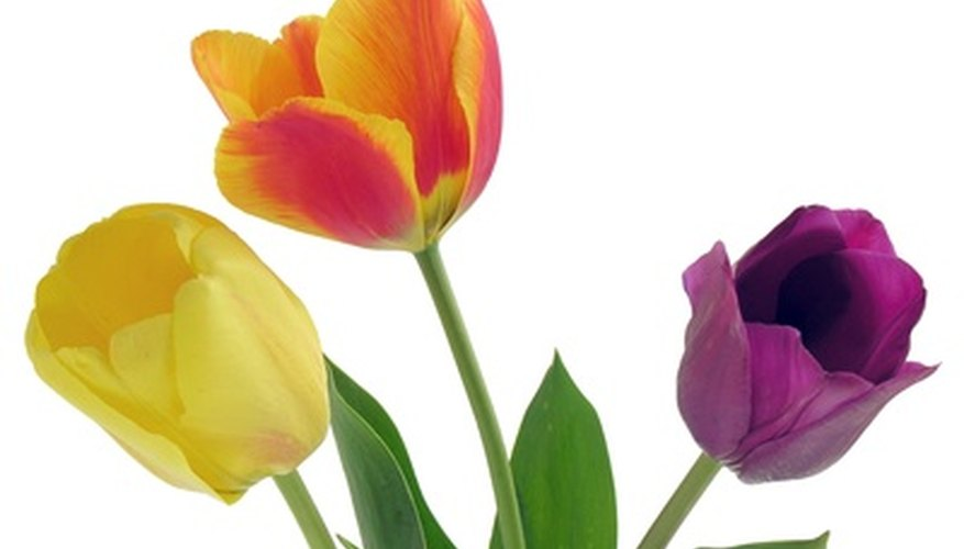 Tulips are available in a variety of colors.