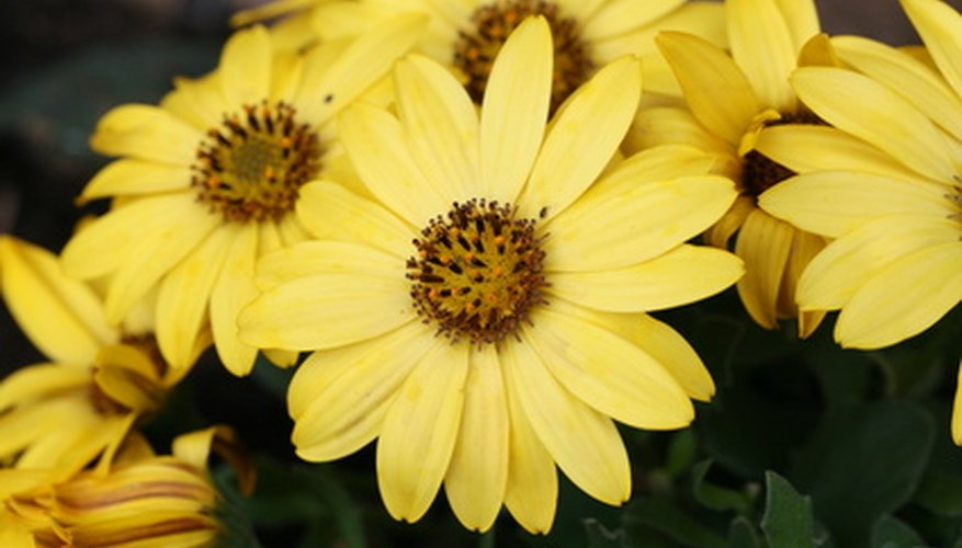 Osteospermum flowers appear in summer and fall.