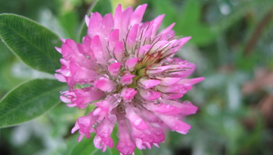 Clover can grow quickly in the right conditions.