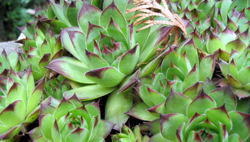 Chicks and hens is a drought-tolerant plant.