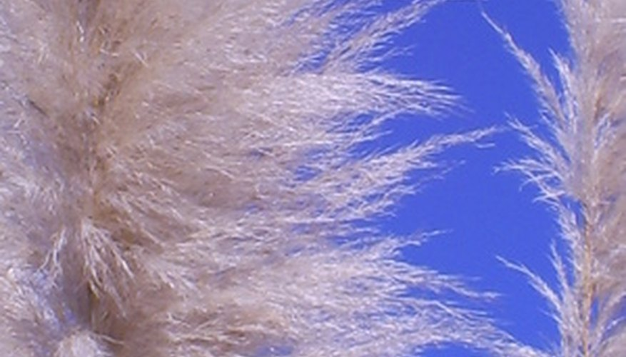 Pampas grass is a tall, clump-forming, ornamental landscape grass.