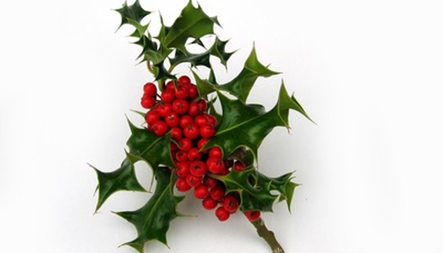 How To Grow Holly Bushes Garden Guides