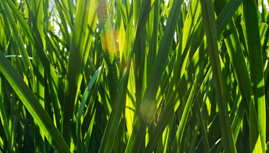 Wheatgrass, grown indoors, reaches maturity in 10 days or less.