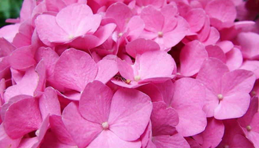 Care for hydrangeas in pots garden guides - Care potted hydrangea ...