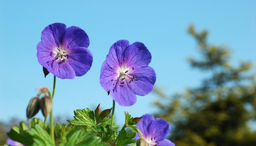 Some geraniums look like wildflowers.