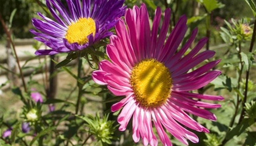 Asters are relatively easy to maintain over winter.