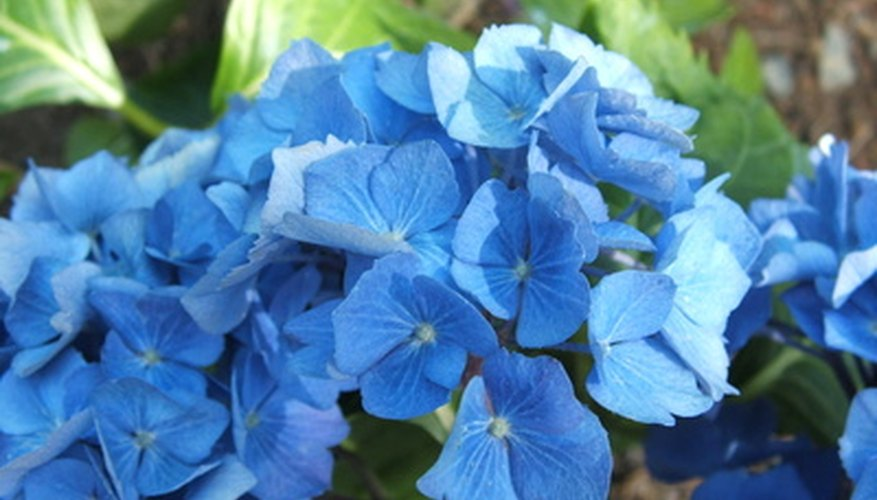 Acid soil produces blue color in hydrangeas.