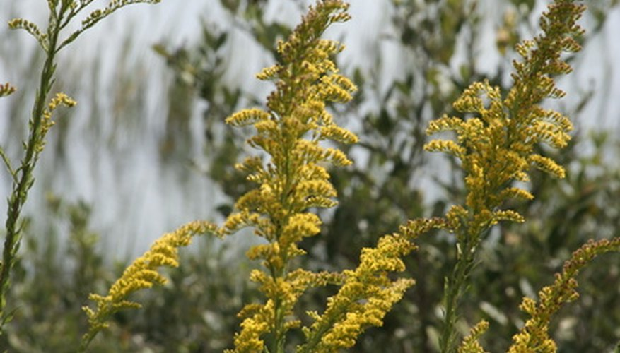 Solidago provides color in the fall garden.