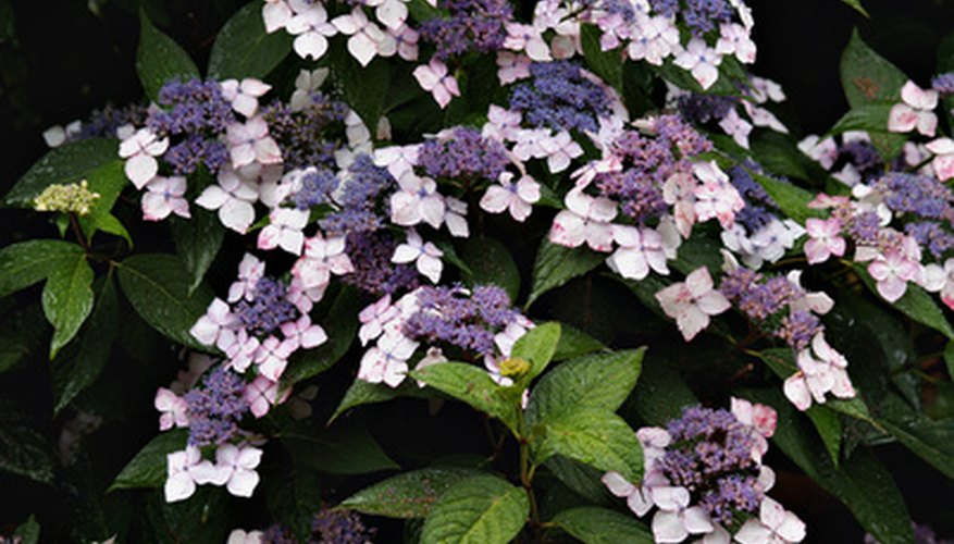 Lace-cap hydrangeas will grow in the parts of Massachusetts within USDA Plant Hardiness Zone 6 and 7.