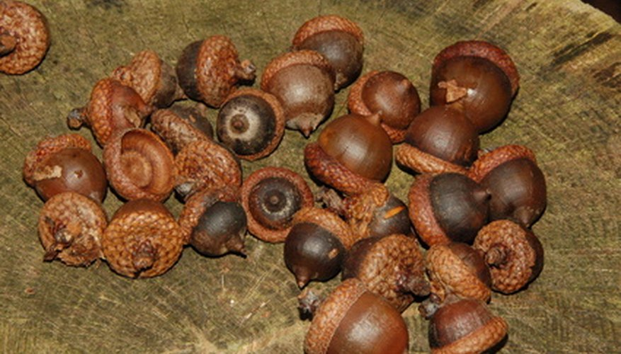 Acorns are tree fruit from an oak.