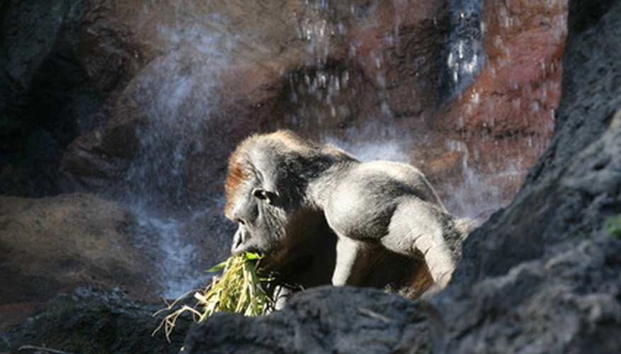 Silverback gorillas need about 60 pounds of food per day.