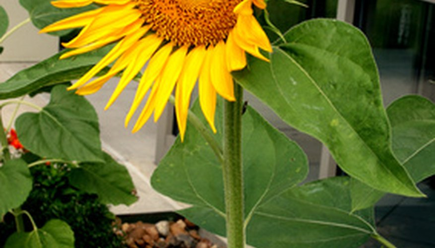A sunflower blooming on a strong stem.