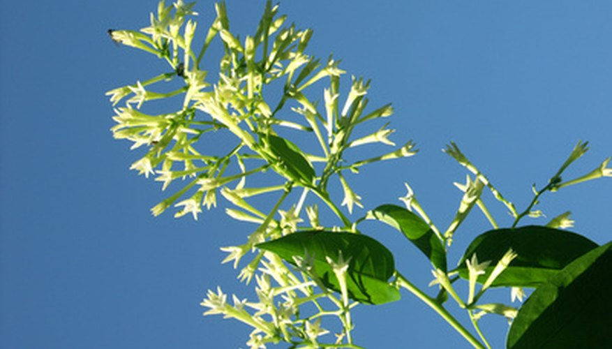 Many jasmines produce intoxicatingly perfumed flowers.