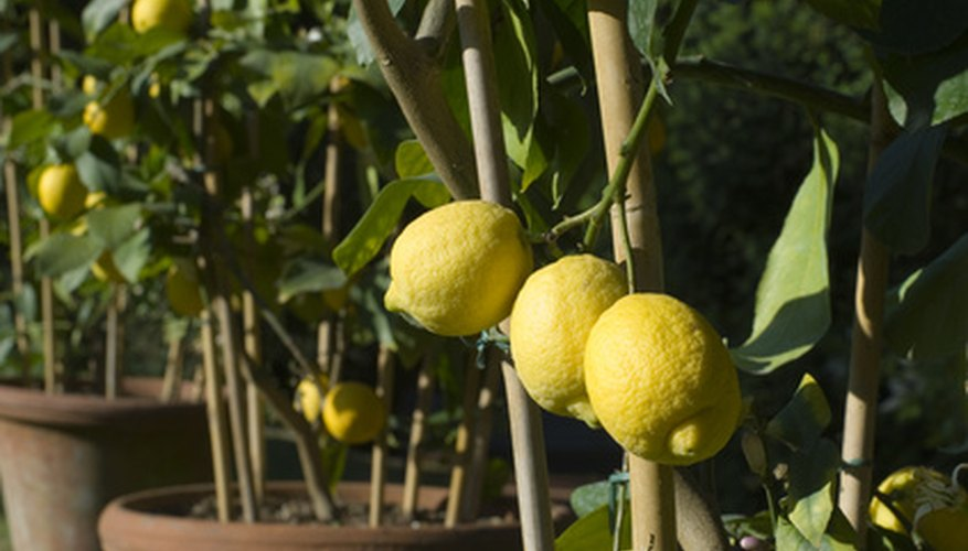 Lemon trees growing in containers.
