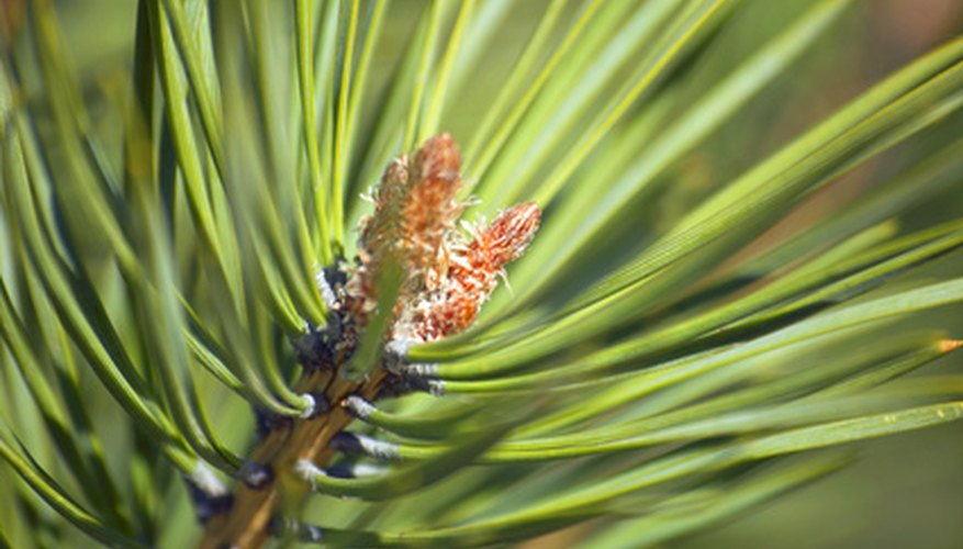 Conifer needles stay on the tree year-round.