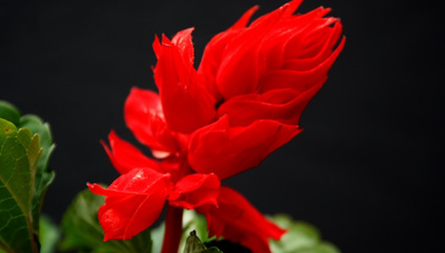 Deadhead to encourage more snapdragon blossoms.