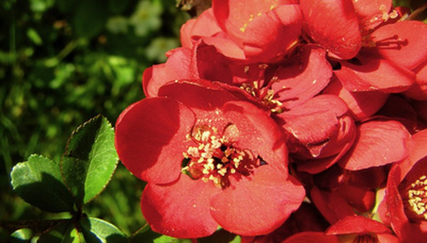 Hall's crabapple bright-rose blossoms
