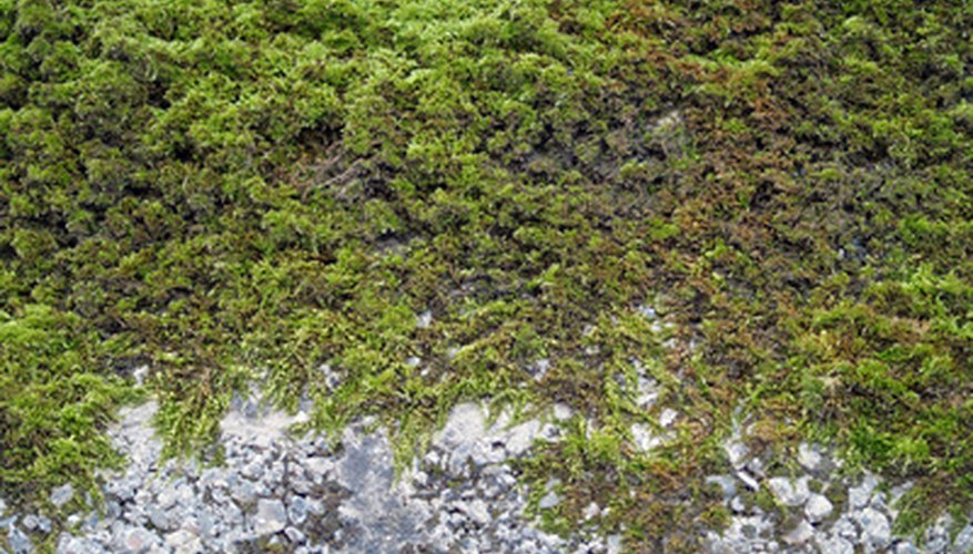 Moss grows in areas with sparse grass.