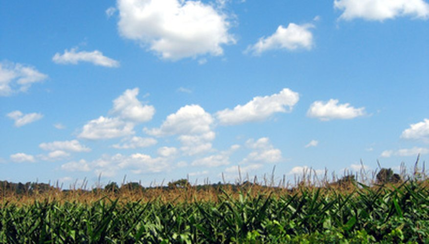 Properly fertilizing sweet corn can lead to a healthier, more productive crop.
