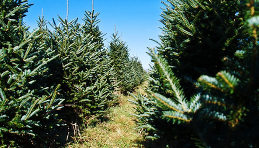 Pine tree varieties are sold in Christmas tree lots throughout the United States.