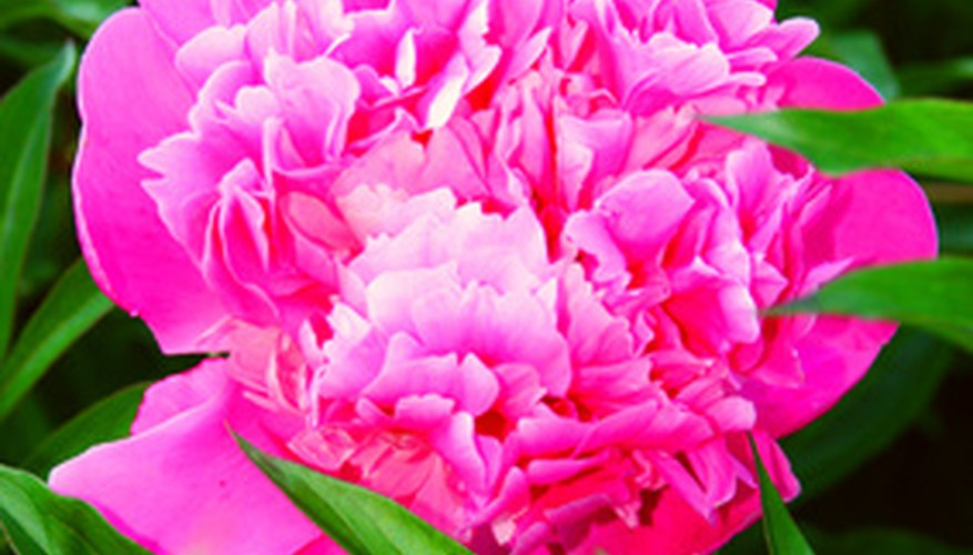 Peony plants in Minnesota are an early growing season blooming plant.
