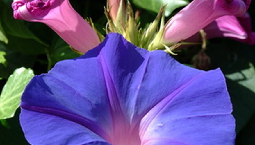 The morning glory is part of an enormous family of flowers.
