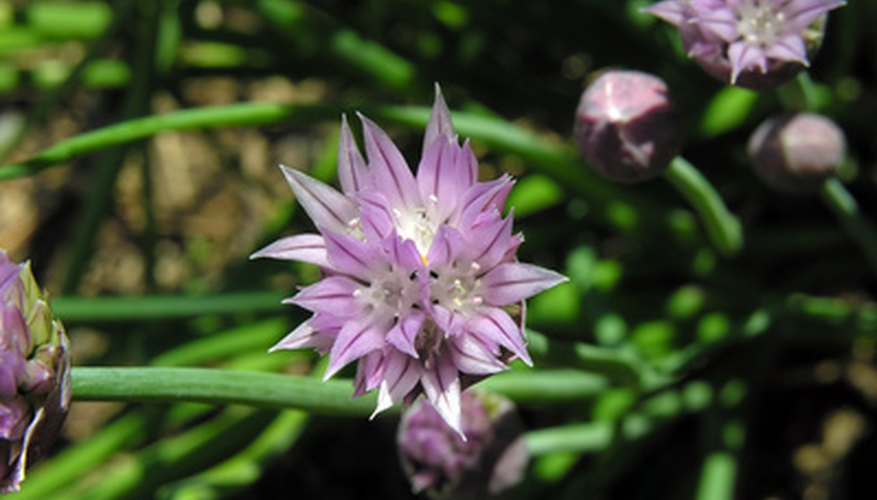 Chive bulbs will produce leaves and purple or pink flowers
