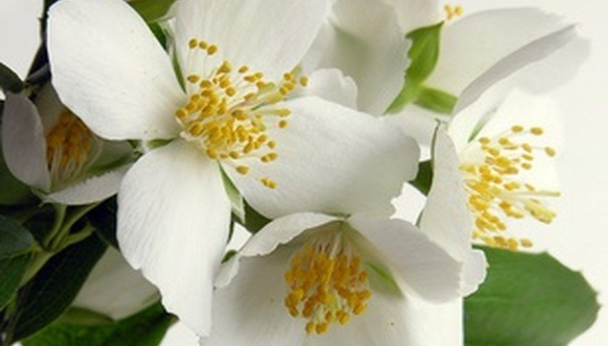 Jasmine flowers are small clusters of fragrant flowers that often bloom at night or in the early morning.