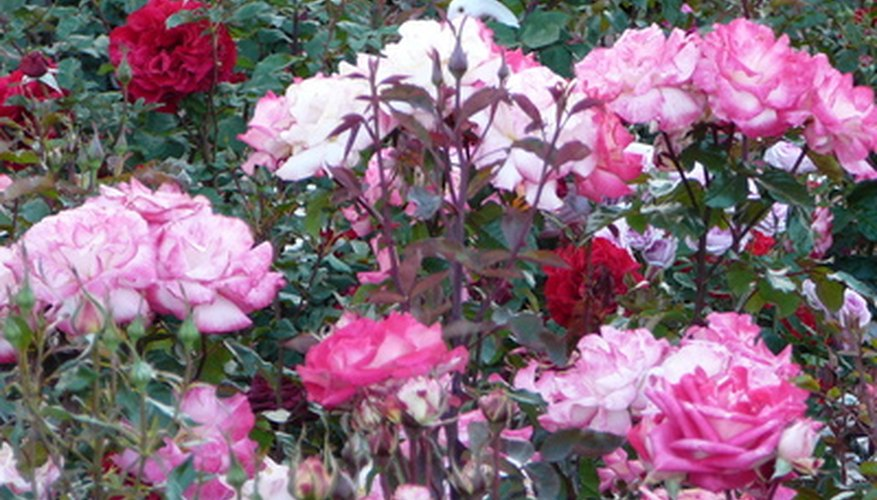 Aromatic roses are in full bloom in August.