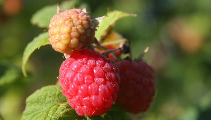 One raspberry plants bears one to two quarts of fruit per year.
