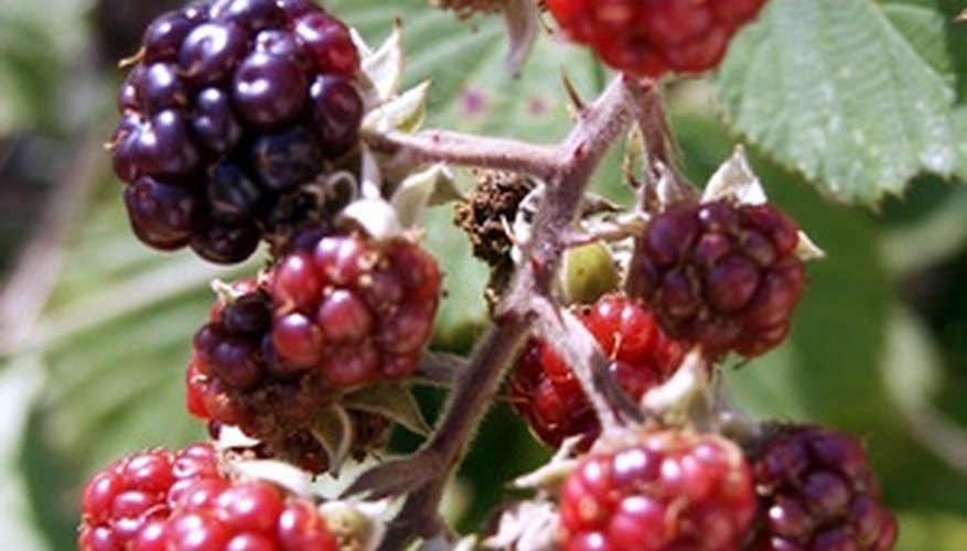 While blackberries may be attractive, they are aggressive plants and can overgrow your lawn or garden.