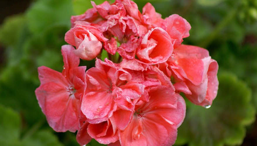 Geraniums bloom in a wide range of bright colors.