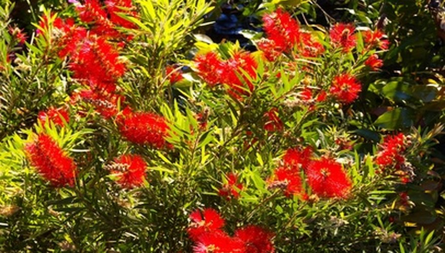 Bottlebrush plants attract hummingbirds and butterflies.