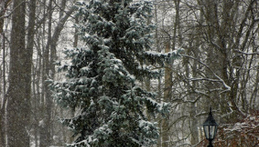 A blue spruce tree in winter