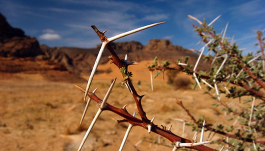 Some acacia varieties have huge thorns.