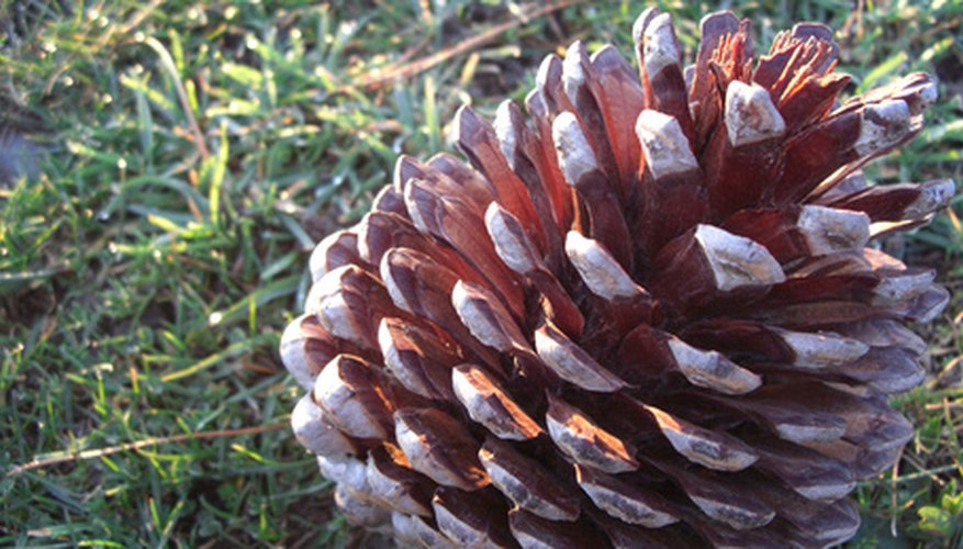 Seeds should be collected from the pine cone of the Douglas fir as soon as the cone begins to open.