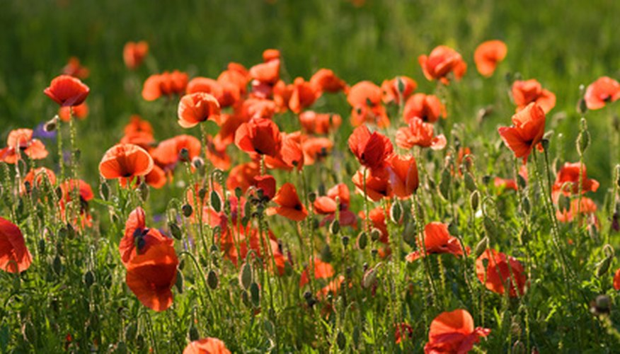 Poppies have vibrant colors.