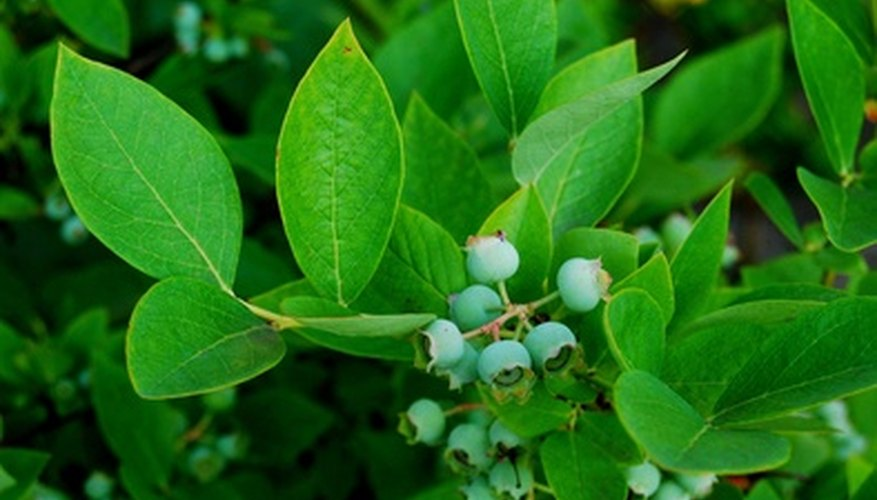 Blueberry plants thrive in nitrogen-rich soil.
