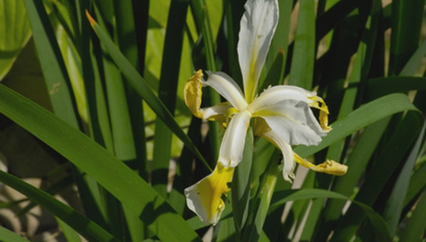 Propagate crinum lily plants to create additional plants.