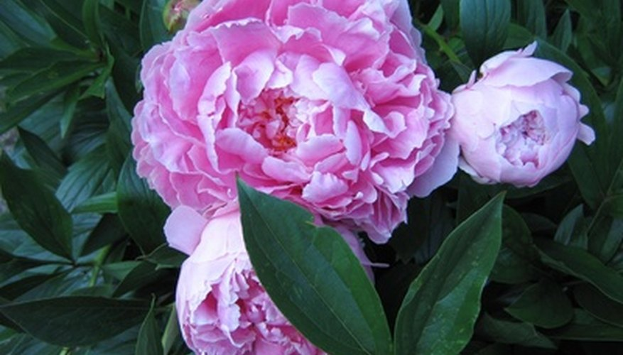The captivating bloom of the peony is impressive.
