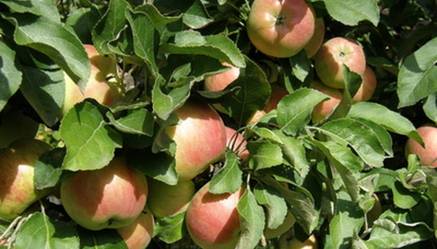 Apple trees are the largest tree fruit crop in southern Wisconsin.