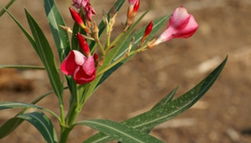 Toxic oleander found in Oregon